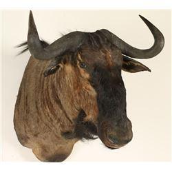 Black Wildebeest Shoulder Mount