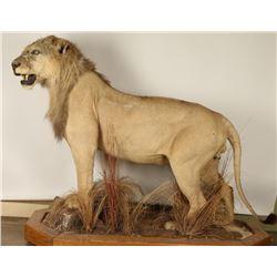 Full Mount African Female Lion