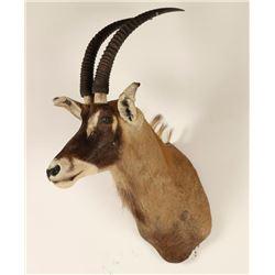 African Roan Shoulder Mount