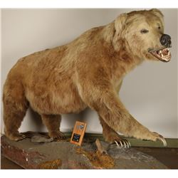 Full Mount Grizzly Bear