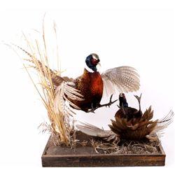 Montana Made Pheasant Taxidermy Mount