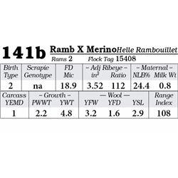 Lot 141b - Rambouillet X Merino