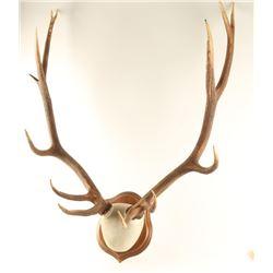 5 x 5 Elk Mount