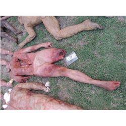 ZOMBIE AUTOPSY DEAD BLOODY ROTTEN ZOMBIE BODY 06