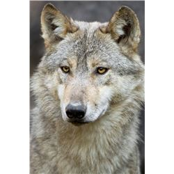 7 DAY WOLF HUNT & TRAPLINE EXCURSION IN THE THOMPSON
