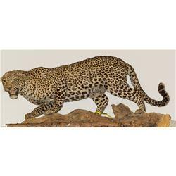 Leopard Full Body Mount