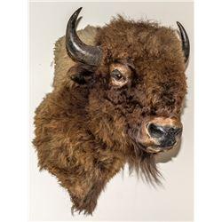 North American Buffalo (Bison) Shoulder Mount