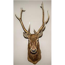 North American Elk Shoulder Mount