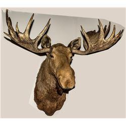 North American Moose Shoulder Mount