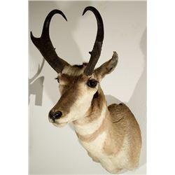North American Pronghorn Antelope Shoulder Mount