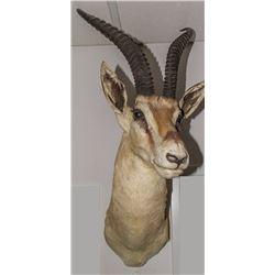 Phillips Gazelle Shoulder Mount