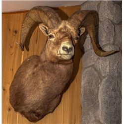 Rocky Mountain Bighorn Sheep Shoulder Mount