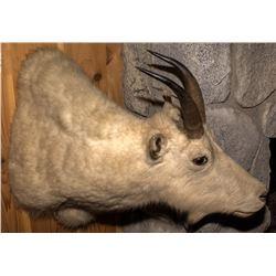 Rocky Mountain Billy Goat Shoulder Mount