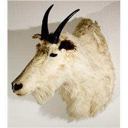 Rocky Mountain Goat Shoulder Mount