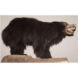 Sloth Bear Full Body Mount