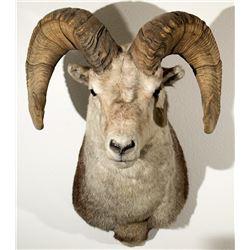 Stone Sheep Shoulder Mount