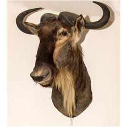Wildebeest Shoulder Mount
