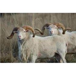 1 Hunter, 3 Day Texas Dall Sheep Hunt