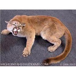 1 Full Mount Mountain Lion, High Uintah Taxidermy