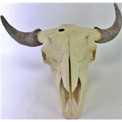 """3 year old buffalo skull with horn caps intact, large bullet hole in forehead., 27"""" tip to tip."""