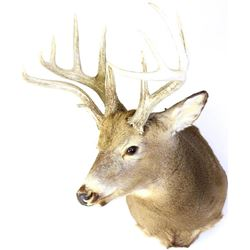 """Whitetail mount double main beam on right side, scored mid 160"""" range, 6 point left side and 7 point"""