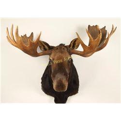 Large Moose Shoulder Mount