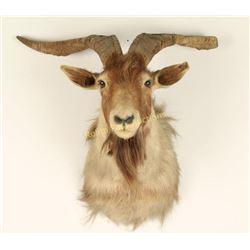 Goat Shoulder Mount