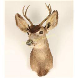 Deer Shoulder Mount