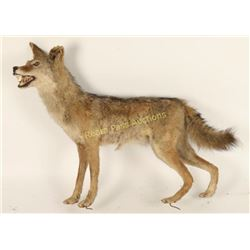 Full Mount Coyote