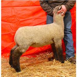 Slack Club Lambs