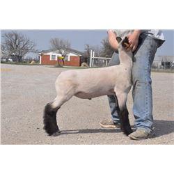 Harrell Club Lambs