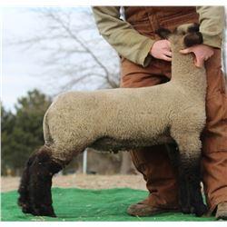 Hassebrook Show Lambs