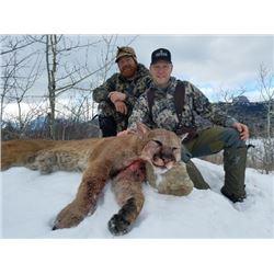Mountain Lion hunt for one hunter on horseback near Kalispell, Montana (10 days)