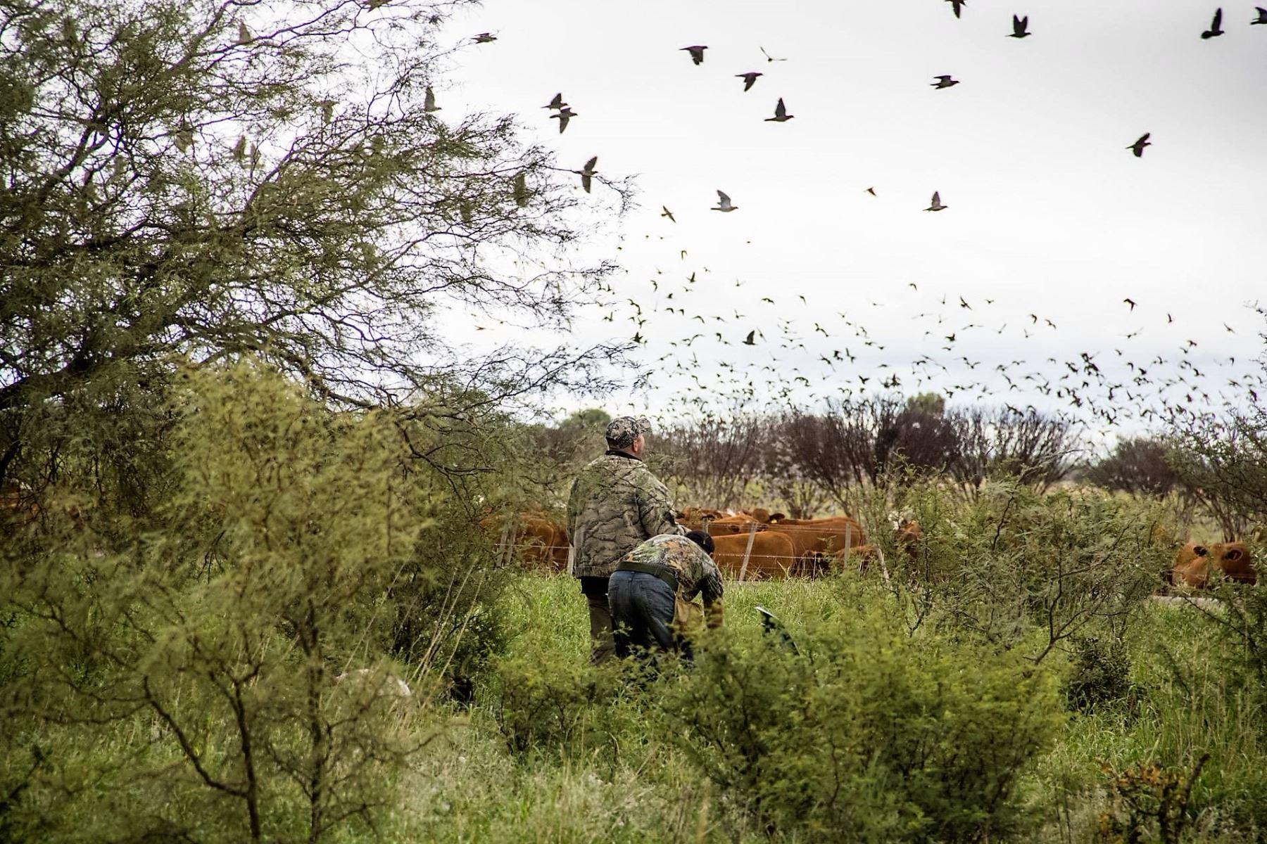 High volume dove hunt in Cordoba, Argentina for 4 hunters (2