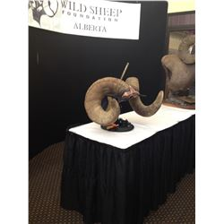REPLICA HORNS FOR WORLD RECORD BIGHORN - 209 4/8