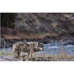 BC GRAY WOLF PELT