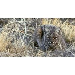 2_Day PA Bobcat/Coyote Hunt for 2 hunters