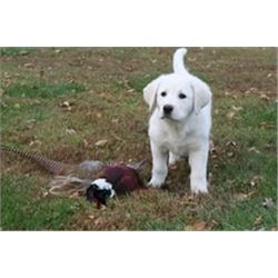 """2 Day """"EXPRESS"""" Pheasant Hunt for 2 with Pheasant City"""