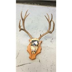 6x5 European Mule Deer Mount Hand Painted
