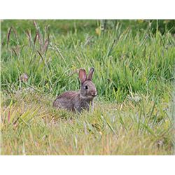 Rabbit Hunt in the Lower Yakima Valley
