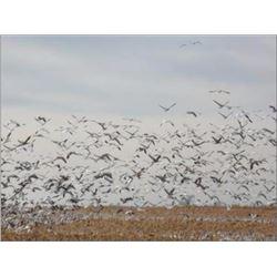 South Dakota Snow Goose Hunt