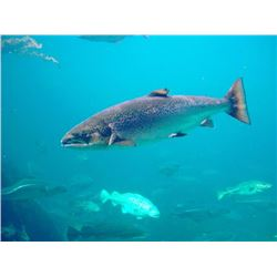 One day fully guided salmon or steelhead fishing trip for 2 people on Drano Lake or the  Columbia Ri