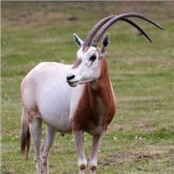3 Day, 2 Night Hunt for Scimitar Horned Oryx for 1 Hunter & 1 Non-Hunter