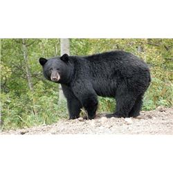 7 Day Black Bear Hunt for One - Wawa, Ontario, Canada