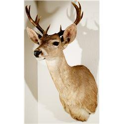 Coues Deer Shoulder Mount