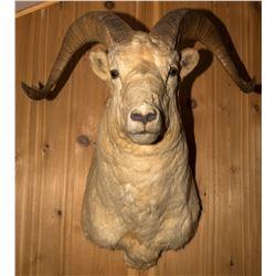 Dall Sheep Shoulder Mount