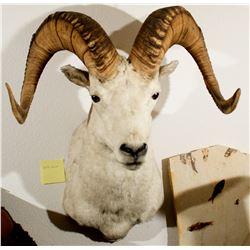 Second Dall Sheep Shoulder Mount