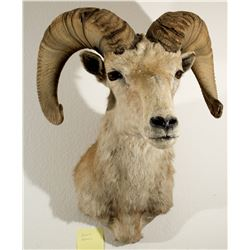 Desert Bighorn Sheep Shoulder Mount