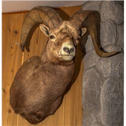 Second Rocky Mountain Bighorn Sheep Shoulder Mount