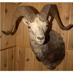 Second Stone Sheep Shoulder Mount